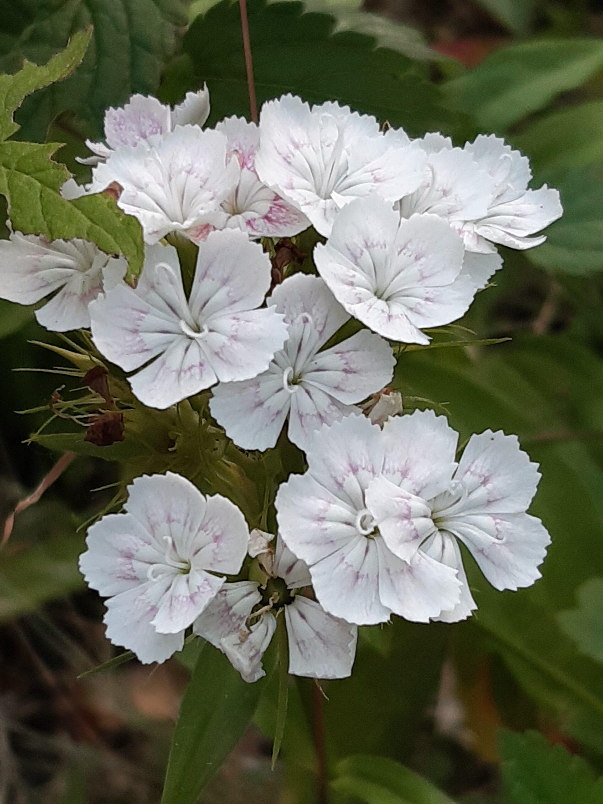 a 5 Cele mai mici flori din iarbă. Se pregătesc pentru spectacol