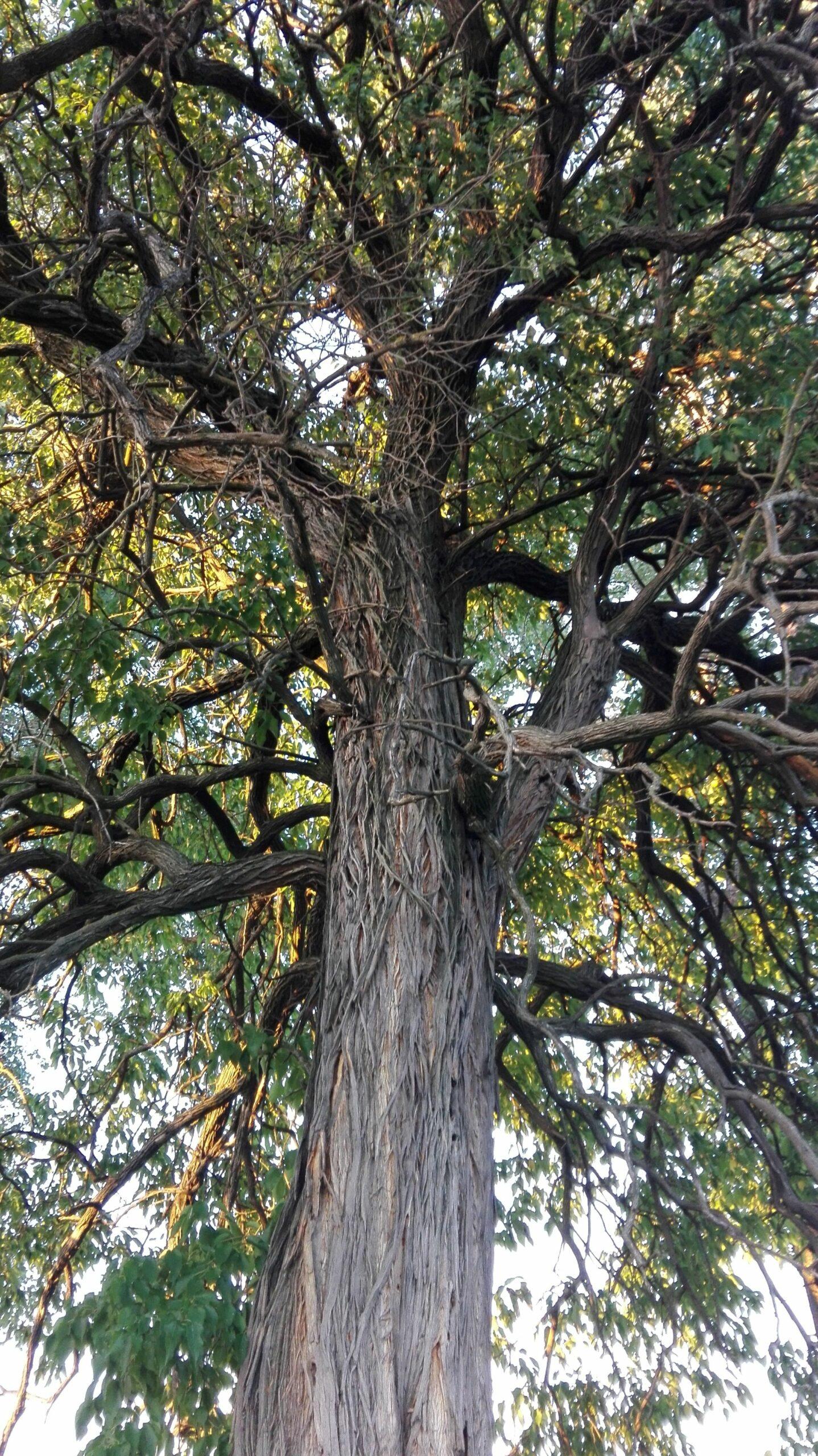 Portocalul sălbatic plantat de familia Teodoreanu
