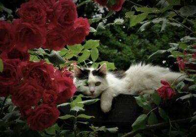 Cheți si trandafirii