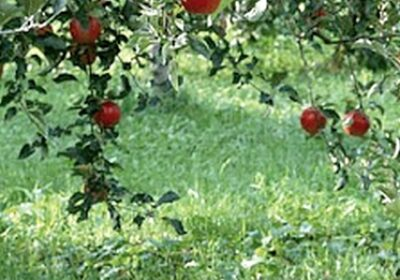 creanga de măr